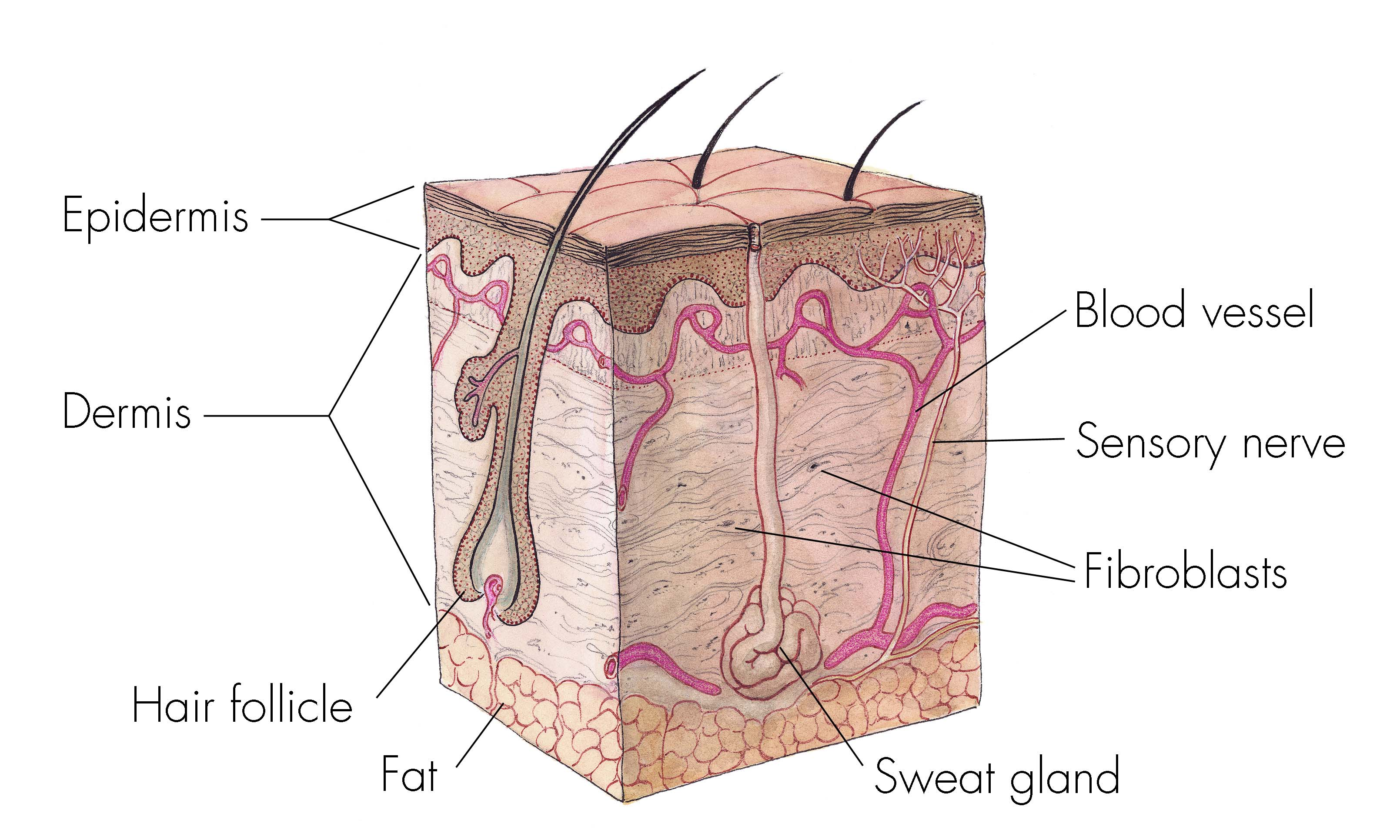 Chapter 4 Skin Body Membranes Lessons Tes Teach