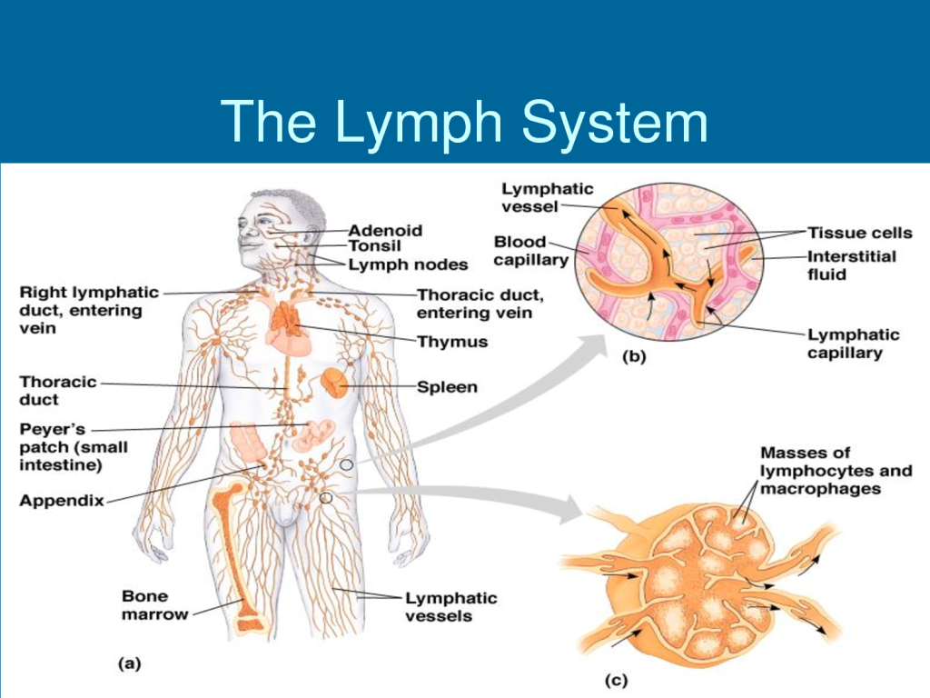 a p lymphatic system chp 20